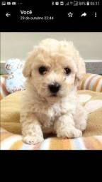 Vendo filhotes de poodle toy (Whatsapp)