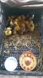 Vendo lindos filhotes de Patos
