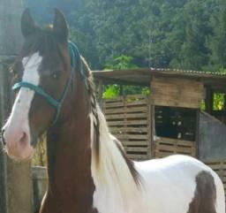Cavalo manga larga Paulista garanhão
