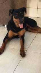 Vendo Rottweiler com 10 meses