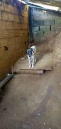 doação de 03 cachorras URGENTE