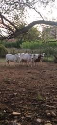 Boi, vacas e bezerra