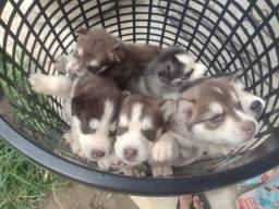 Vendo filhotes husky siberiano