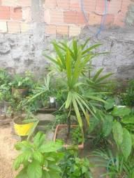 Palmeira rafi