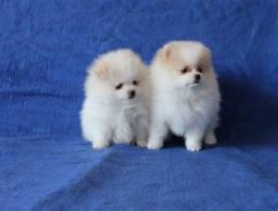 Filhotes Lulu Da Pomerania Anão