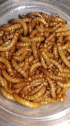 Larvas de Tenébrio Molitor Vivas