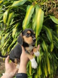 Colina Kennel disponibiliza filhotes de Beagle machos