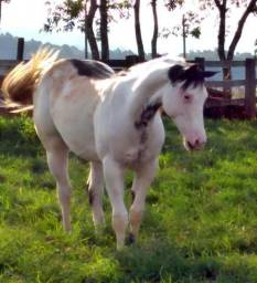 Potro Paint horse po