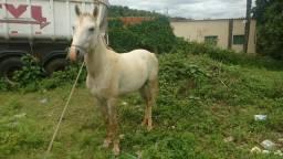 Troco cavalo Pequira inteiro, 04 anos , marcha picada por sinuca, totó