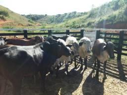Lote de Novilhas, touro e Vacas