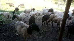Vendo Ovelhas diversos tamanhos e preços ovino Carneiro p abate ou criar