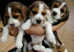 """Lindos Filhotes de Beagle 13"""" Recibo/ Garantia/ Pedigree"""