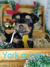 Lindo bebê de Yorkshire micro