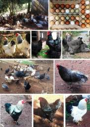 Ovos de galinhas de raças mistas