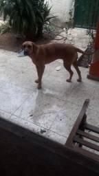 doação dog alemão 6 mese mansa