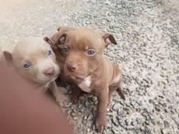 Estou doando 2 filhotes de Pitbull.