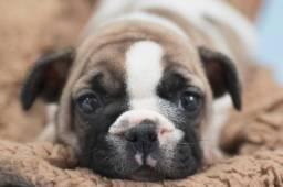 Bulldog lindos, em oferta imperdível