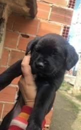 Labrador macho 250