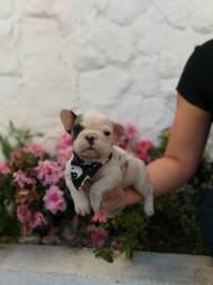 Bulldog Francês filhotes urgentes para você adquirir