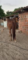 Título do anúncio: Cavalo de esteira profissional nos bois