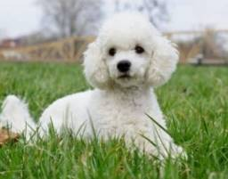 Poodle macho disponível