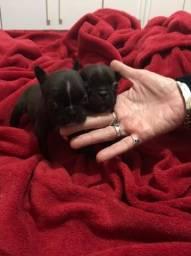 Bulldog francês Black Mini