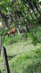 Troco 2 cavalos por égua