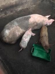 Porcos Quatro colchão
