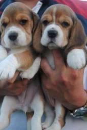Beagle tricolor, em até 12x sem juros no cartão!!