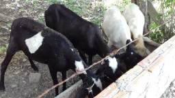 Carneiro e ovelhas