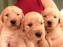 Lindos filhotes de Golden