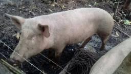 Porca de Raça 12$/ kg com aproximadamente 100 kg