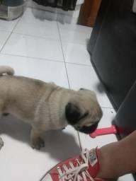 Vendo Pug (macho)