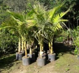 Palmeira Real