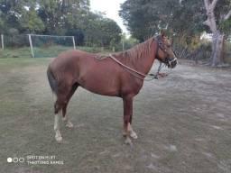 Vende-se um cavalo dócil e pronta para trabalho e lazer