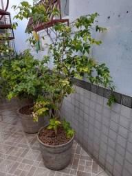 Plantas frutíferas