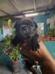 Bulldogue francês filhote