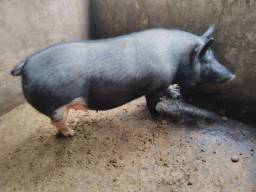 Porca 150KG