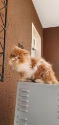 Filhote de gato persa com.pedigree