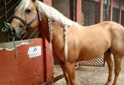 Venda de Cavalo quarto de milha