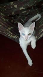 Lindo Gatinho com um olho azul e l outro amarelo