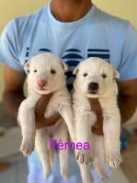 Título do anúncio: Filhotes husky siberiano a venda