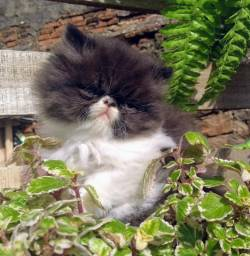 Gato persas