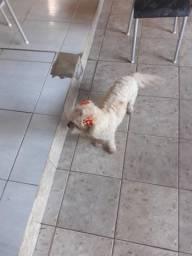 Doando cachorrinha poodle