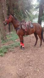 Cavalo puro sangue ingles