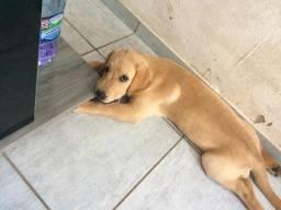 Filhote Labrador Fêmea 3 meses