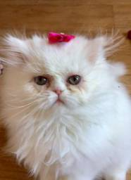 Vende-se filhotes de gato persa