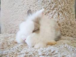 Mini coelho da raça mini lion de olhos azuis LEIA!