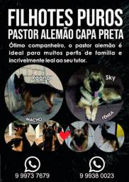 Pastor Alemao Capa Preta