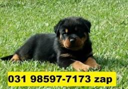 Canil Filhotes Cães Lindos BH Rottweiler Boxer Akita Labrador Pastor Golden